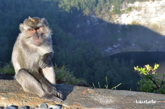 monyet setempat