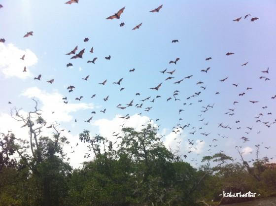 Pasukan kalong dari Pulau Kalong