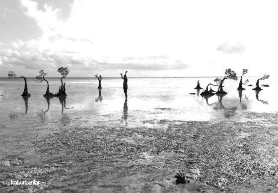 mangrove walakiri