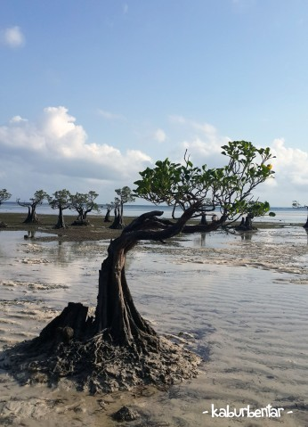 Pohon mangrove yang tumbuh meliuk