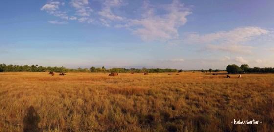 Gerombolan kuda sedang sarapan di padang rumput dekat kota Waingapu