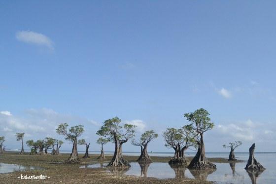 Deretan mangrove di Walakiri
